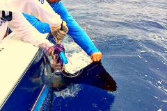 Capt Cesar on Magnifico releasing another Sailfish!