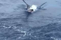Black Marlin, Magnifico at Corbeteña