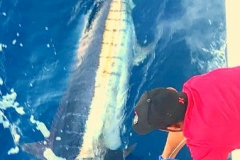 "Blue Marlin over 500 lbs at Corbetena if you're ""Lucky"""