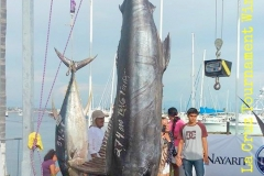 Winning La Cruz Black Marlin at 274 kilos or 600 lbs !