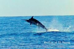 10-14-2016-Black-Marlin-Jumping-El-Banco-650-pxls-MBText