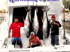 02-25-2013-andele-yf-tuna-120-lbs-capt-kawi-and-crew-04-text