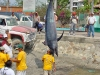 481-fishingmarlin700lb