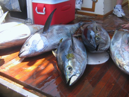 Yellowfin Tuna on the Deck Sixty pound Blue Plate Specials