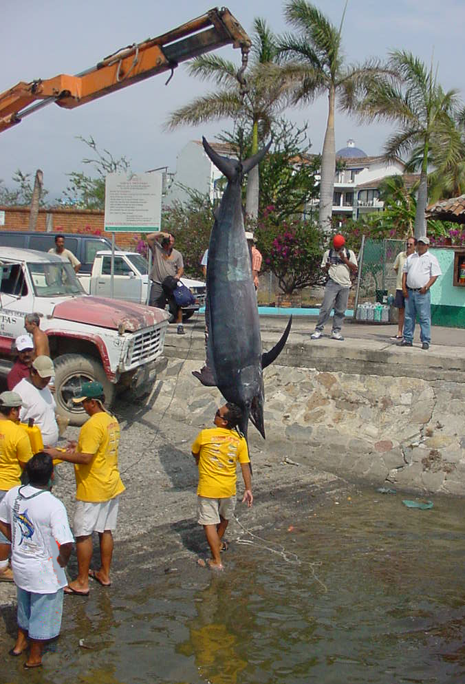 Black Marlin, 699 lbs, June 6, 2006, They're coming Now!