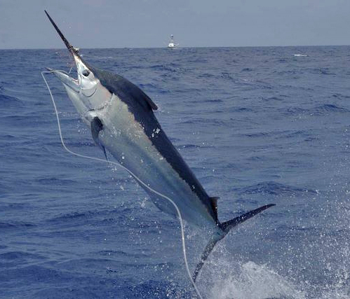 Black Marlin Hook-Up at Corbeteña