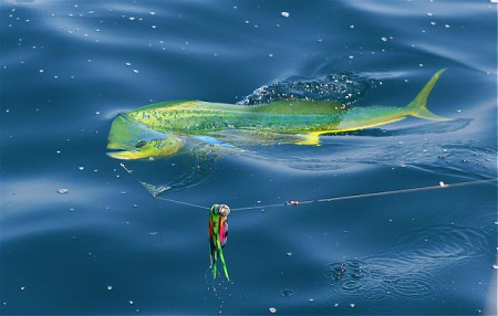 Dorado at the boat, Blue Water and Golden Pescado await you NOW!