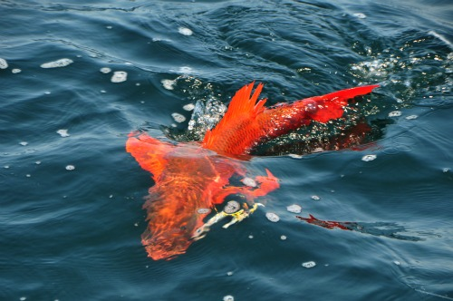 Marietta Islands http://masterbaiters.com.mx/2011/05/big-snappers-larger-rooster-fish-hitting-large-rapallas/