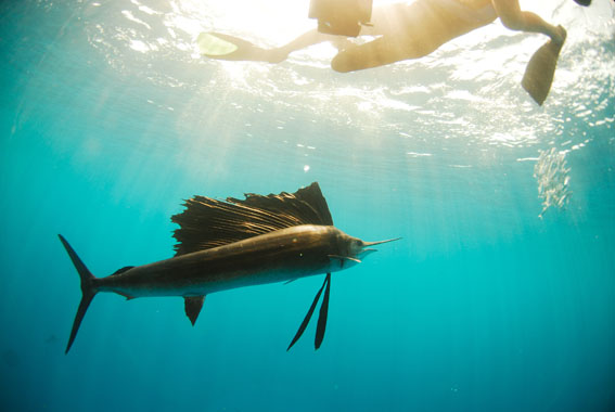 Sailfish in heir natural Evnironment, Spectacular!