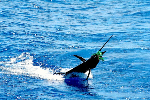07 20 2014 Golden Sailfish, 2 of 2 600 PXlS sin MBText