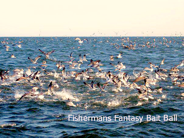 08 08 2014 Fishermans Fantasy Diving Birds Bait Ball