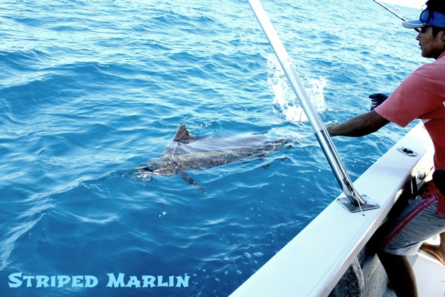 05 15 2015 Magnifico, Striped Marlin, Corbeteña Adjusted sin MBText