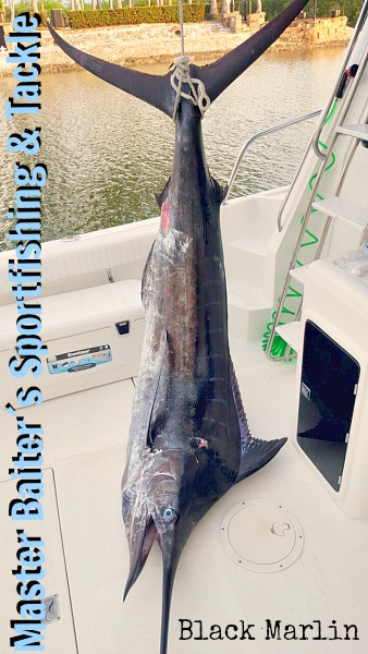 Marlin from 200 to 600 lbs at the Rock, aka Corbeteña !!