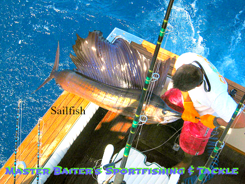 Sailfish are pretty much everywhere, but they´ll be picking up in numbers big-time in October. This one is a real beauty, love the coloring and it was released!