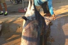 10 16 2017 Black Marlin at Corbetena 600x600pxls